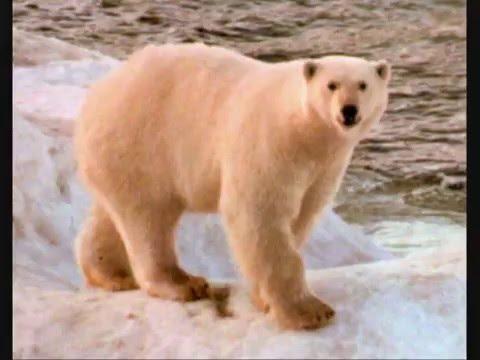 L'ours blanc (видео)