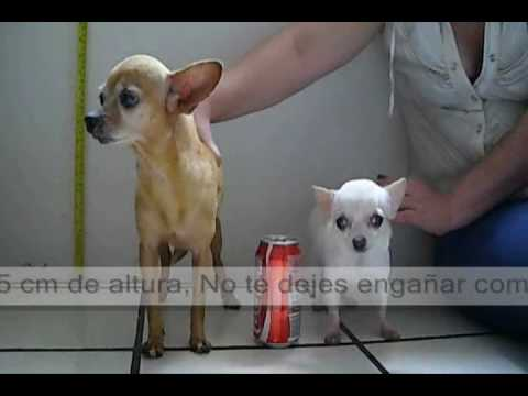 Regular Chihuahua vs Teacup Chihuahua Full grown ! … The Fall of a myth