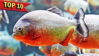 Video Top 10 Aggressive Aquarium Fish MP3, 3GP, MP4, WEBM, AVI, FLV Februari 2019