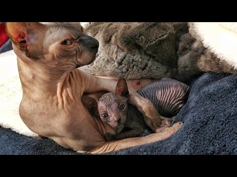 Sphynx cat mommy and cute sweet kittens / DonSphynx