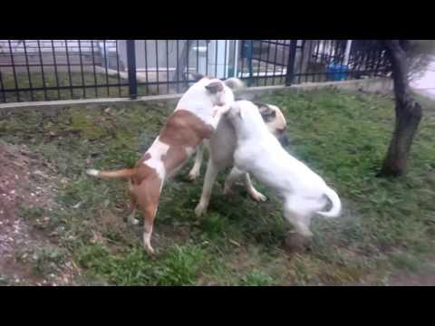 bull terrier e kangal giocano assieme!