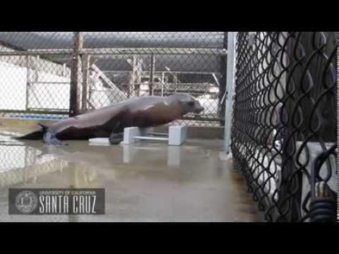 Merileijona opettelee eri rytmejä – Fiksu eläin
