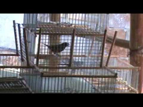 jaula con trampera para canarios
