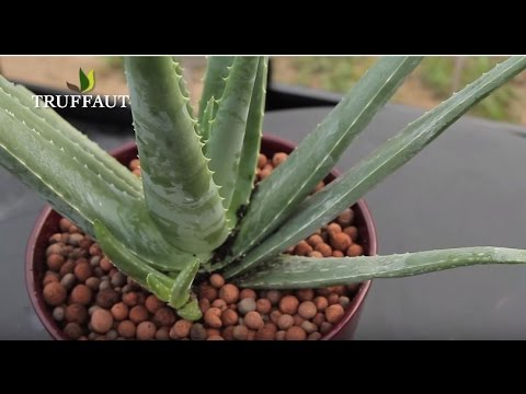 Plante aloe vera entretien maison design - Aloe vera plante prix ...