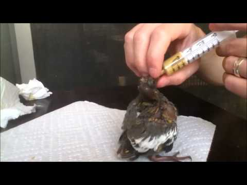 Feeding our Baby White-winged Doves