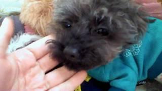 AKC Micro Teacup Poodles - Motaka Tse
