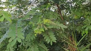 Làm hàng rào sinh học giúp giảm thiệt hại khi trồng sầu riêng