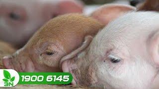 Chăn nuôi lợn | Phác đồ điều trị bệnh E.coli dung huyết sưng phù đầu ở lợn