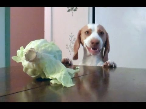 Funny Cabbage Dog Struggles To Eat Cabbage
