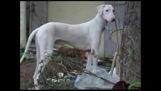 Rajapalayam India  city photo : rajapalayam dog indian breed