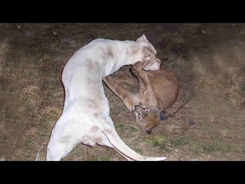 Dogo Argentino VS Mountain Lion Puma Cougar Fight - Trained Dogo Dog Attack Puma Cougar