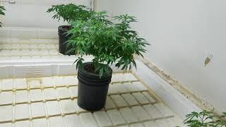 Medical Marijuana Garden Update by Medically Fit