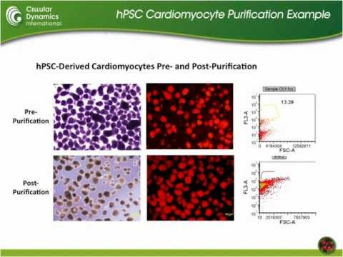 iCell® Cardiomyocytes & Cardiotoxicity Assessment
