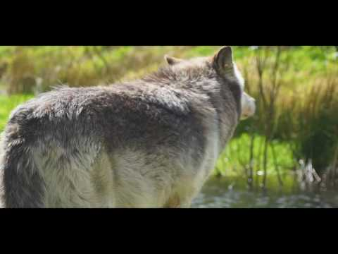 How wolves change rivers | Wolf Watch UK