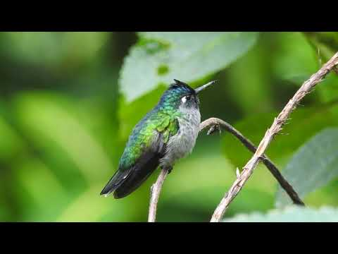 VIOLET HEADED HUMMINGBIRD