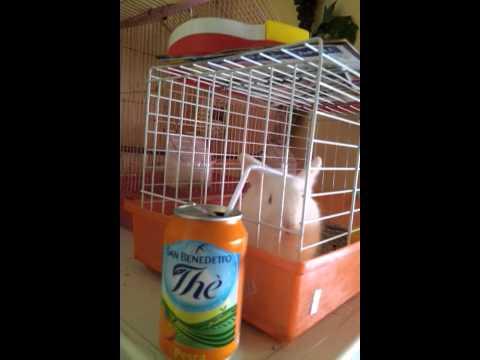 Coniglio bevitore