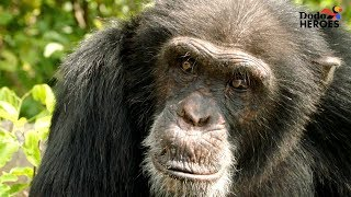 Chimp Living Alone on an Island For Years Gets A Big Surprise | Dodo Heroes by The Dodo