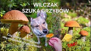 Szukanie grzybów z pomocą psa, czyli jak ułatwić sobie życie