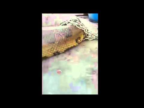 ตะลึง ! งูยักษ์ ใหญ่มหึมาแบบที่ไม่เคยพบมาก่อน