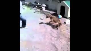 Szybka karma za drażnienie pitbulla. Kara momentalnie go dopadła
