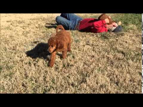 Red Standard Poodle Girls Playing