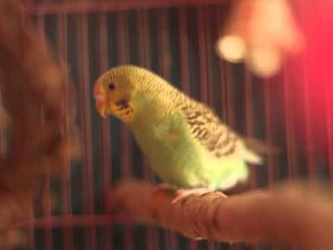 Доклад по английски о волнистых попугайчиков это