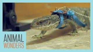 Meet and Greet: Sampson The Savannah Monitor by Animal Wonders