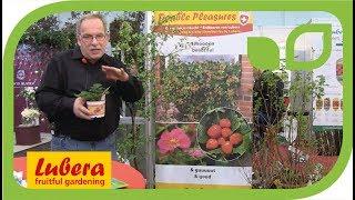Double Pleasures® -  die neuen rosablühenden Zier-Erdbeeren von Lubera
