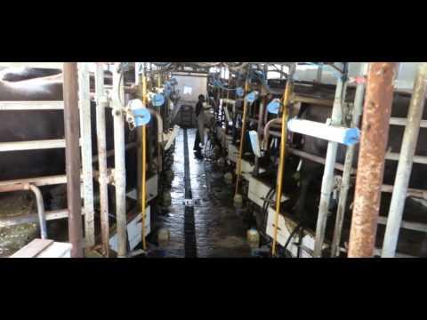 Mozzarella di bufala - Alta crudeltà - Reportage choc negli allevamenti di bufale