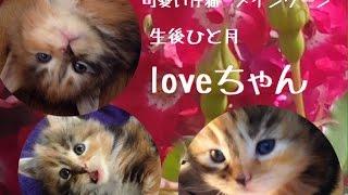 2016年5月12日生まれ可愛い仔猫のloveちゃんひと月経ちました今日の体重 800グラム純血のメインクーンですcattery yakumoやくもnyanhttp://yakumonyan.com/島根県松江市で猫カフェとメインクーンのキャッテリーをしていますご紹介のloveちゃん 販売中です