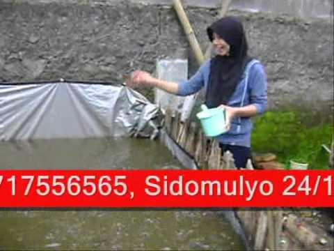 Ternak Ikan Lele ala Madarobi.wmv