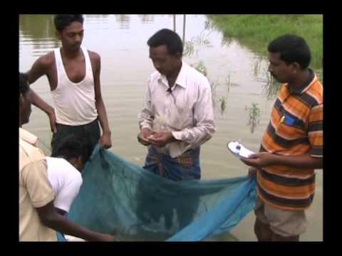 Production of fingerlings for pisciculture Odia VARRAT Odisha