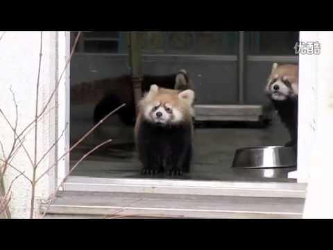 小熊貓想幹壞事,一下被嚇翻了