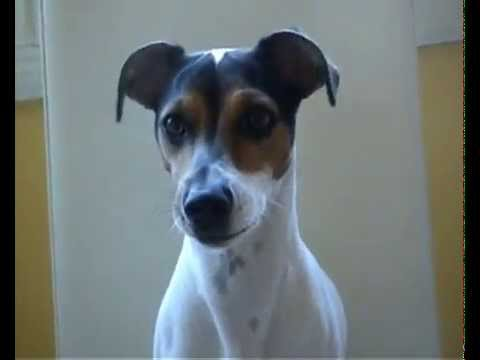 funny dog jack russell