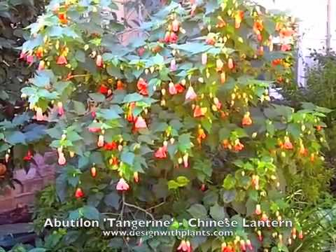 how to plant chinese lanterns