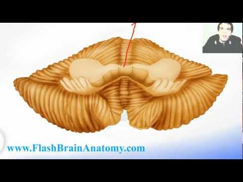 Neuroanatomy Cerebellum Tutorial