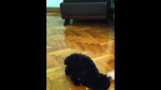 4month Poodle Training