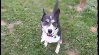 Flash - Siberian Husky / Mixed Dog For Adoption