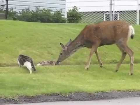 Whitetail doe attacks dog and scares cat!