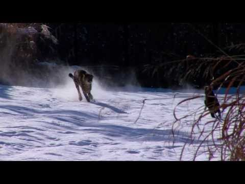 zoo - Savanna the Cheetah and her dog friend Max play in the snow in the cheetah yard. Savanna and Max have been together since September 2012. Savanna was born in...