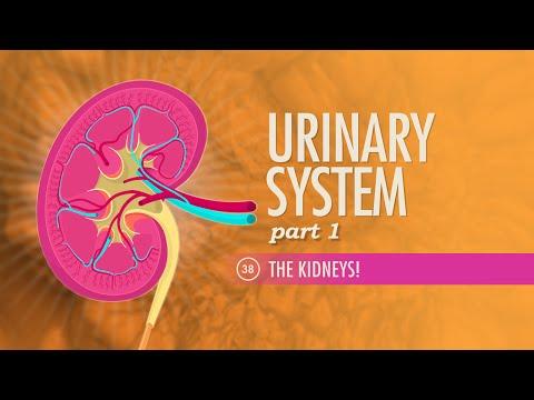 Urinary System, part 1: Crash Course A&P #38