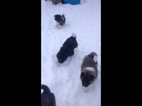Akita puppies born 12182014