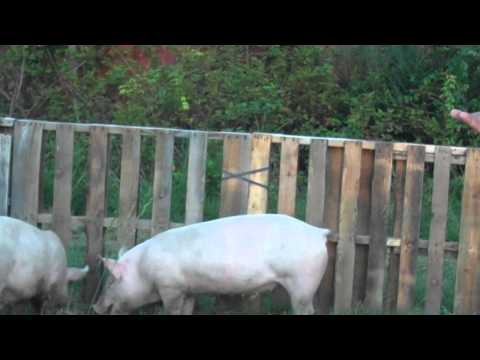 Pigpen - How to build a CHEAP, large pig pen out of reused pallets. If you like this, subscribe to our channel, and visit our FB page: http://www.facebook.com/pages/R...