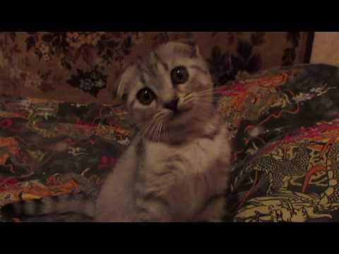 Отдаю вислоухих котят