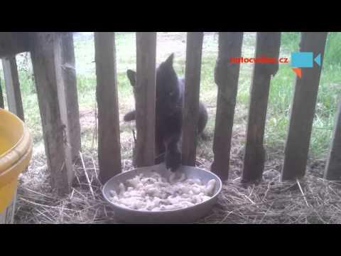 Zloděj jídla od sousedů