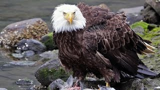 Ketchikan, Alaska, Herring Cove 2014: salmon, bears and eagles