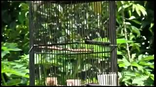 Kicau Ciblek Gunung Buat Masteran gacor Video