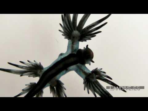 LANDIVE.ES - Glaucus Atlanticus - Video Atlas - VideoSub - Canarias