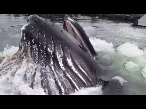 WATCH - A hungry Humpback whale