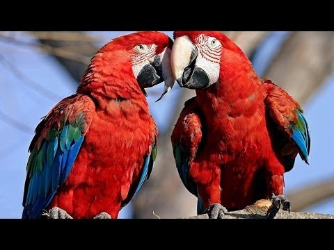 Nature - Parrots: Majestic Birds (Nature Documentary) NATURE tracks down the cockiest characters in the land down under in Parrots in the Land of Oz. We keep them in ...